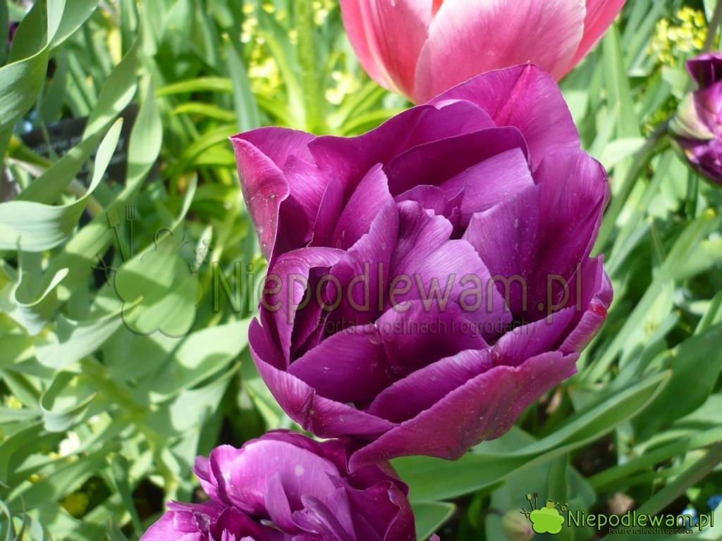 Tulipan Double Negrita ma piękny, fioletowy kolor. Nie pachnie. Fot. Niepodlewam