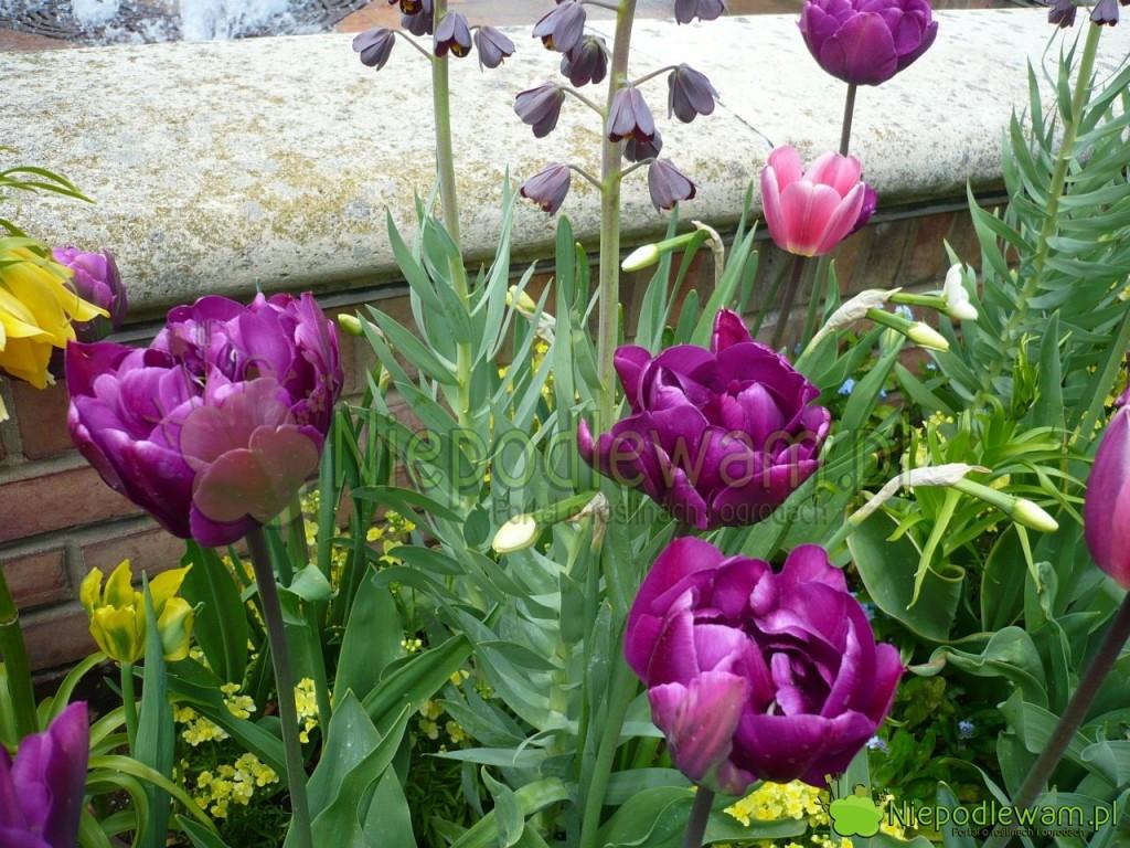 Tulipany Double Negrita wyglądają jak fioletowe peonie. Na tej rabacie rośnie też m.in. szachownica perska (czarna). Fot. Niepodlewam