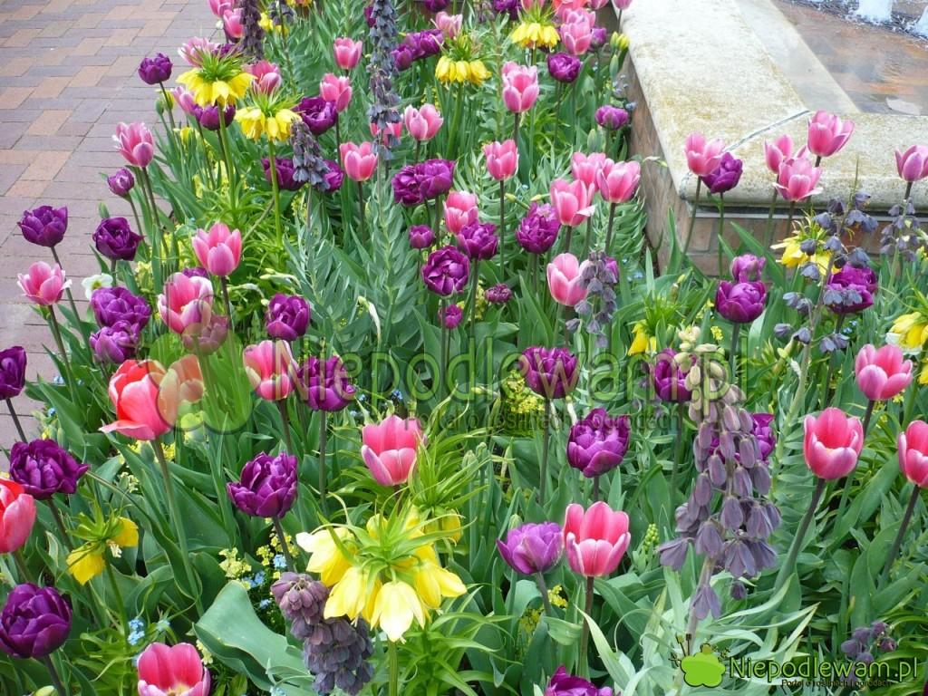 Tulipany Double Negrita (fioletowe) z tulipanami Design Impression (czerwone)  oraz szachownica cesarska i szachownica perska. Fot. Niepodlewam