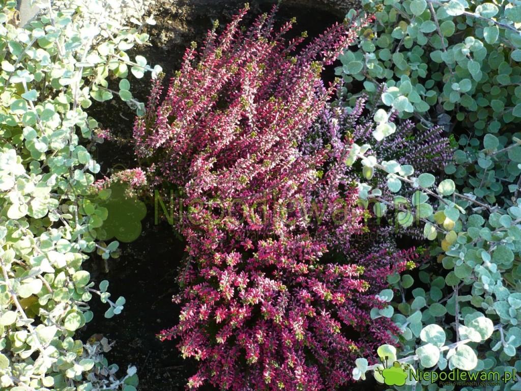 Wrzos pospolity kwietnie naprzełomie lata ijesieni. Pełnia kwitnienia przypada nawrzesień (IX). Fot.Niepodlewam