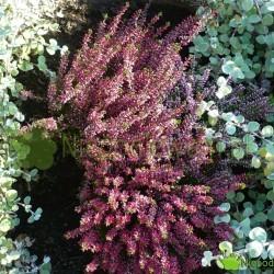 Wrzos pospolity kwietnie na przełomie lata i jesieni. Pełnia kwitnienia przypada na wrzesień (IX). Fot. Niepodlewam