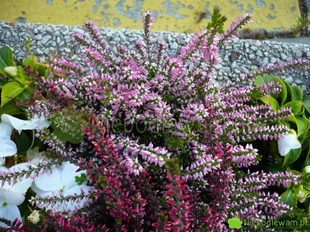 Kwiaty wrzosów wpąkach. Fot.Niepodlewam