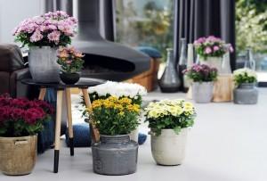 Chryzantemy doniczkowe po przekwitnięciu można spróbować przezimować w gruncie lub chłodnym pomieszczeniu. Fot. Flower Council of Holland/thejoyofplants.co.uk