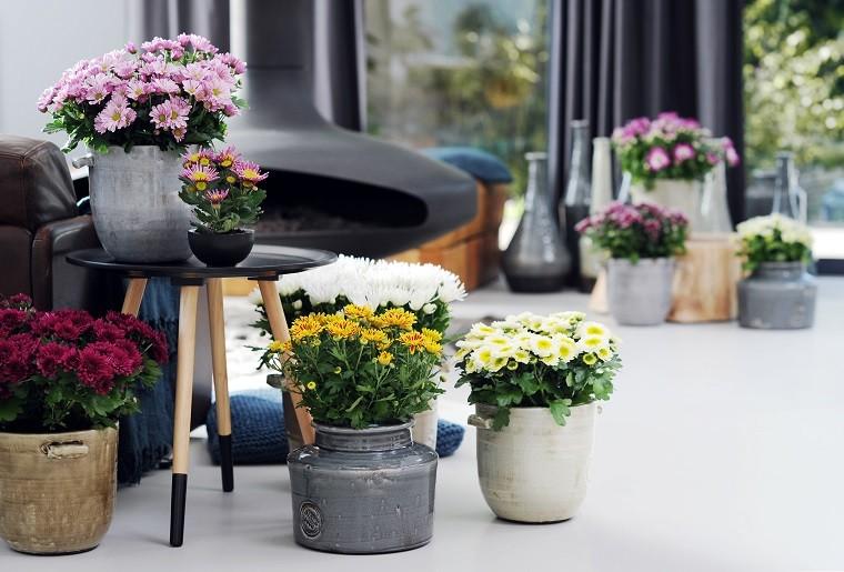 Chryzantemy doniczkowe poprzekwitnięciu można spróbować przezimować wgruncie lub chłodnym pomieszczeniu. Fot.Flower Council of Holland/thejoyofplants.co.uk