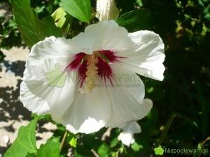 Ketmia syryjska znana jest pod wieloma nazwami, m.in. hibiskus ogrodowy. Fot. Niepodlewam