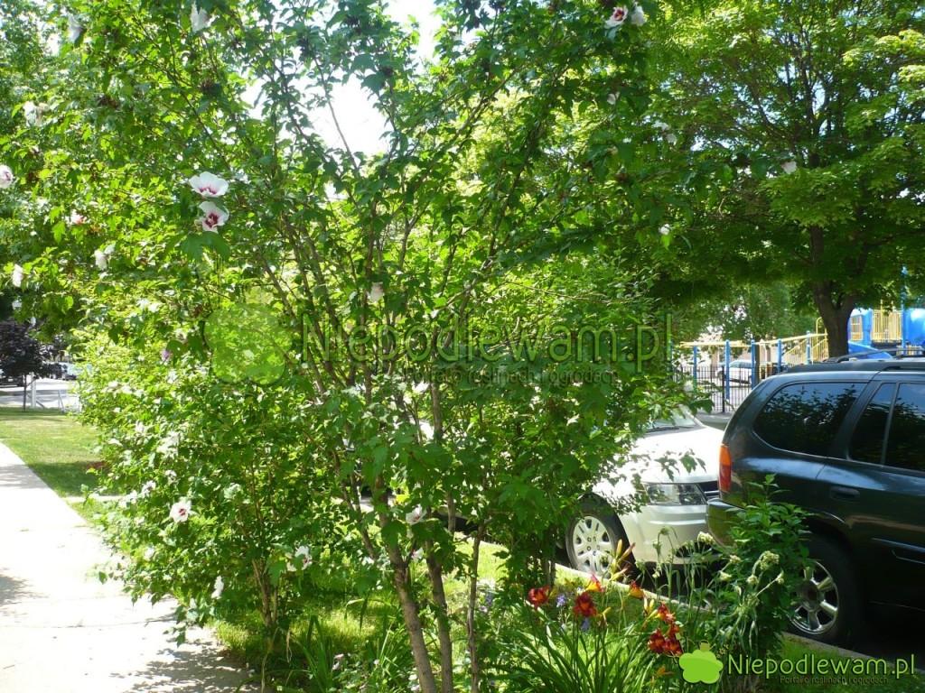 Hibiskusy ogrodowe dobrze rosną nawet przy ruchliwych ulicach. Fot.Niepodlewam