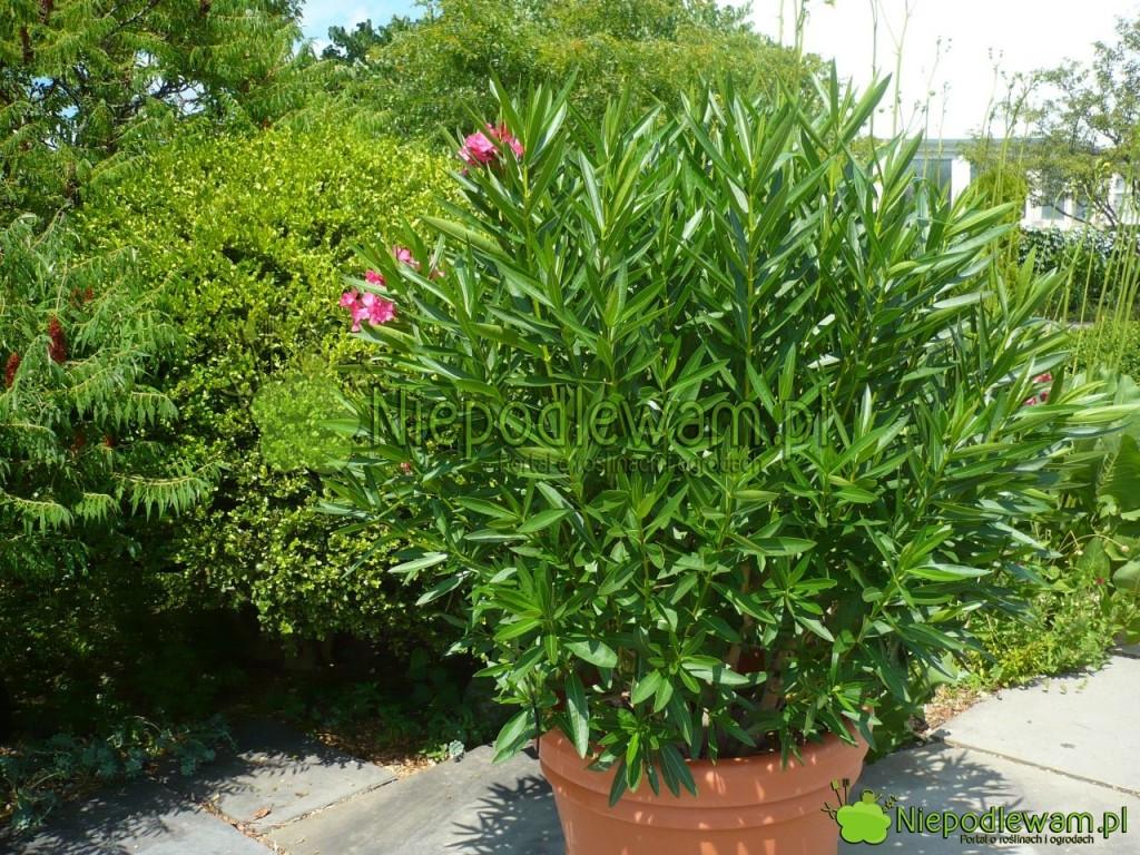 Oleander. Fot.Niepodlewam