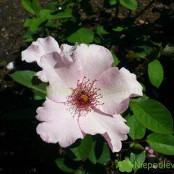 Róża Dainty Bess ma pojedyncze kwiaty. Charakterystyczne są długie, różowe pręciki. Fot. Niepodlewam