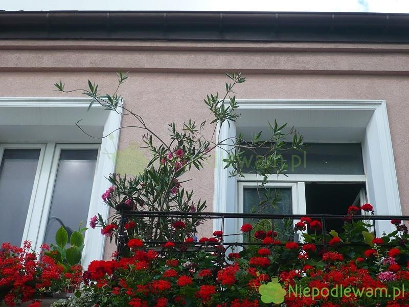 Zimowanie kwiatów balkonowych na zewnątrz, takich jak np. oleander czy pelargonia, jest w polskim klimacie niemożliwe. Trzeba jest przechować przez zimę w pomieszczeniach. Fot. Niepodlewam