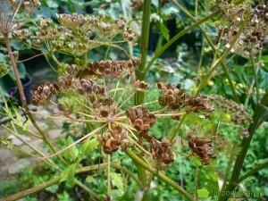 Nasiona pasternaku szybko tracą zdolność kiełkowania podczas przechowywania w domu. Lepiej posiać je przed zimą niż czekać do wiosny. Fot. Niepodlewam