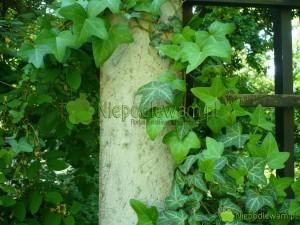 Bluszcz pospolity to popularna roślina ogrodowa i doniczkowa. Lubi półcień i cień. Fot. Niepodlewam