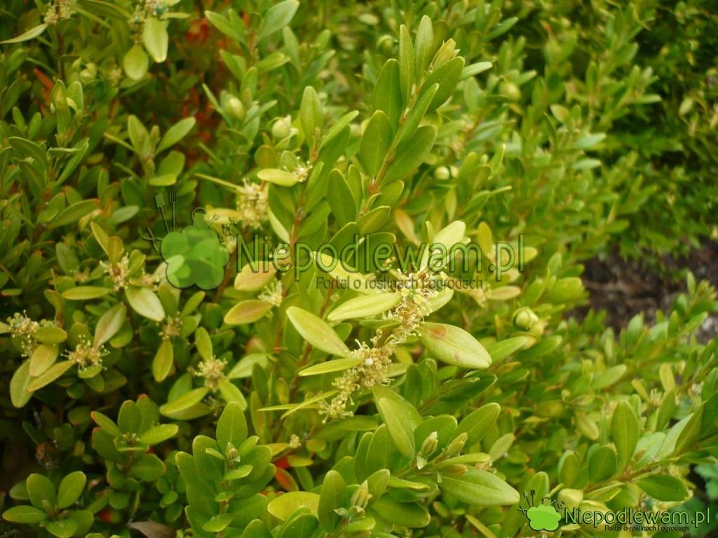 Kwiaty bukszpanu drobnolistnego ładnie pachną. Na zdjęciu jest odmiana Winter Gem. Fot. Niepodlewam