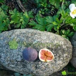 Figa jadalna owocuje w polskim klimacie. Fot. Niepodlewam