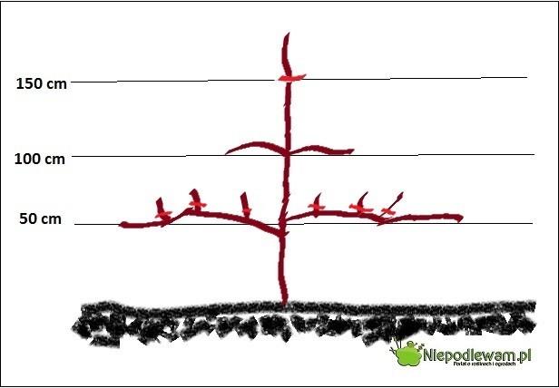 formowanie drzew owocowych rysunek 3