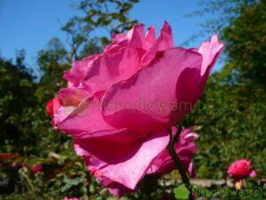 Róża Venrosa to polska odmiana. Pachnie pięknie, średnio mocno. Fot. Niepodlewam