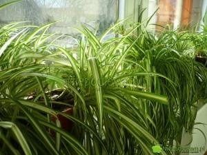 Zielistka to mało wymagająca roślina doniczkowa. Zwykle jest uprawiana na parapetach. Nadaje się do też sadzenia w ogrodzie i na balkonie. Fot. Niepodlewam