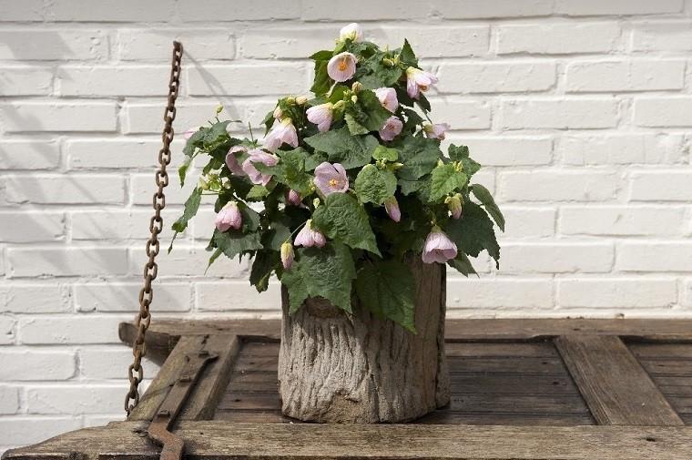 Abutilon jest znany też jako klonik pokojowy. Fot.Flower Council of Holland/thejoyofplants.co.uk