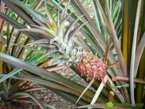 Owocujący ananas jadalny w szklarni. Fot. Niepodlewam