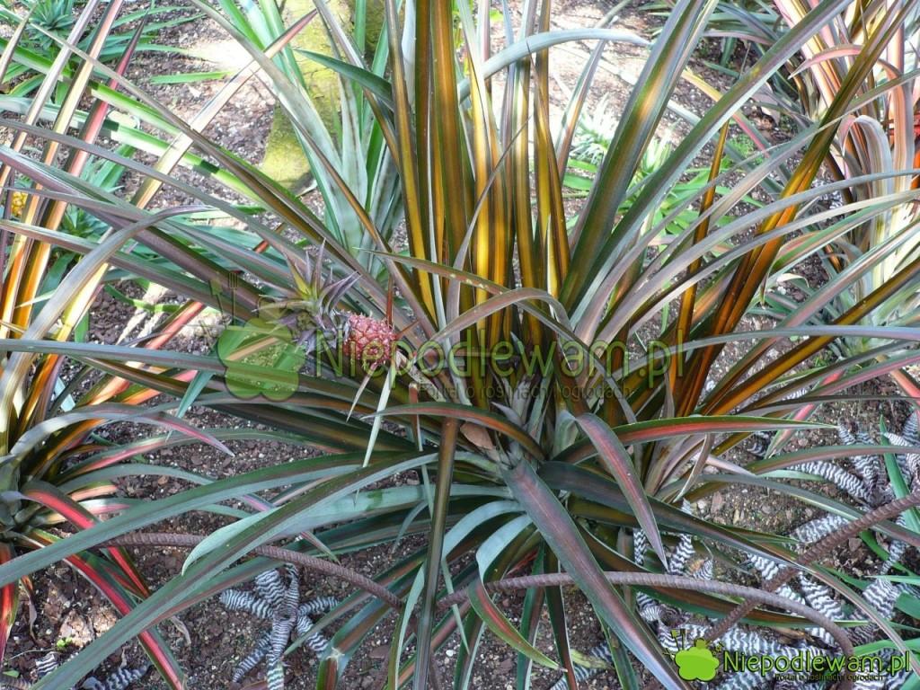 Stary, rozrośnięty ananas. ten ma liście pasiaste. Są też odmiany bardziej zielone. Fot.Niepodlewam