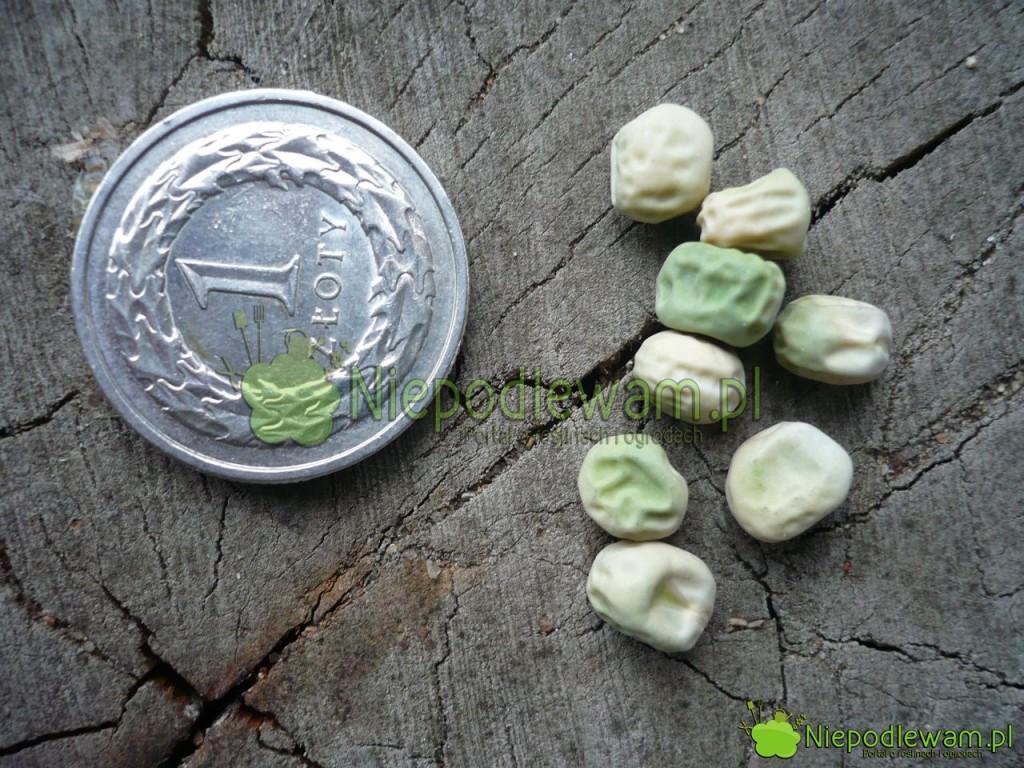 Nasiona grochu Walor. Fot.Niepodlewam