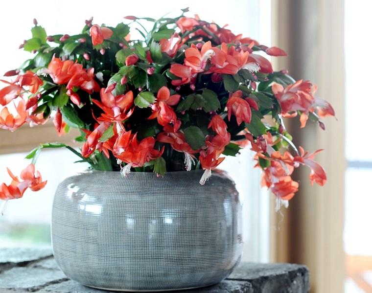 Kaktus bożonarodzeniowy jest znany pod wieloma nazwami, m.in. grudnik, szlumbergera, zygokatus. Fot. Flower Council of Holland/thejoyofplants.co.uk