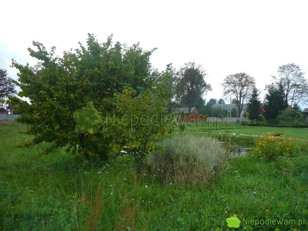 Leszczyna pospolita to duży krzew lub małe drzewko. Fot. Niepodlewam