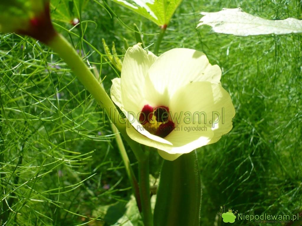 Kwiat okry jest podobny domalwy iketmii (hibiskusa). Fot.Niepodlewam