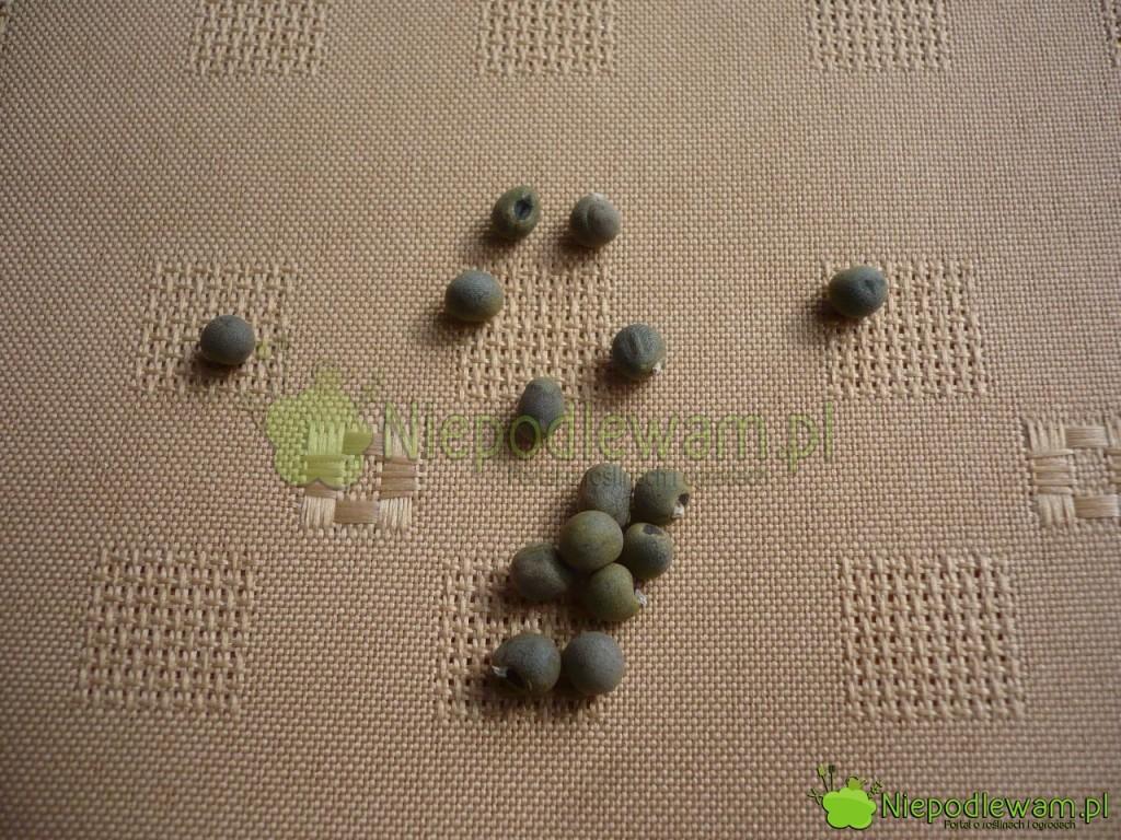 Nasiona okry. Z wyglądu i wielkości przypominają ziele angielskie. Fot. Niepodlewam