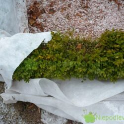 Okrywanie bukszpanu na zimę ma bardziej chronić przed utratą wody niż mrozem. Fot. Niepodlewam