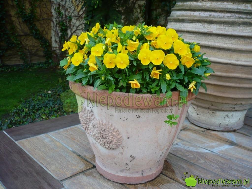 Żółte bratki wceramicznej donicy. Fot.Niepodlewamłte