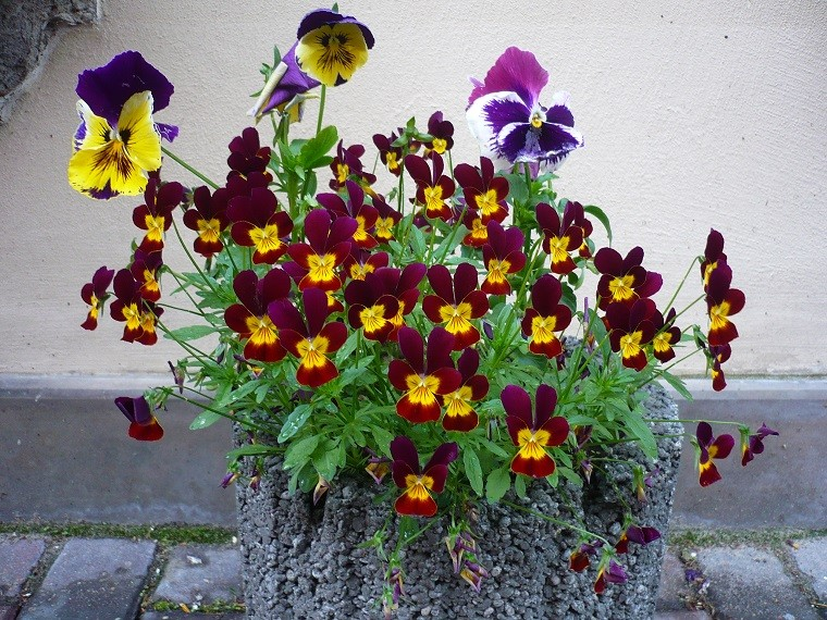 Bratki wpustaku budowlanym. Fot.Flower Council of Holland/thejoyofplants.co.uk