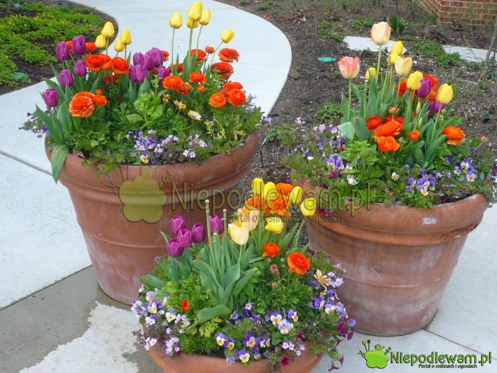 Wiosenna kompozycja: bratki oraz tulipany i jaskry azjatyckie. Fot. Niepodlewam