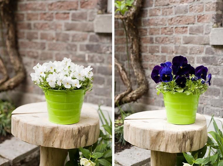 Bratki wjednobarwnych pojemnikach. Fot.Flower Council of Holland/thejoyofplants.co.uk