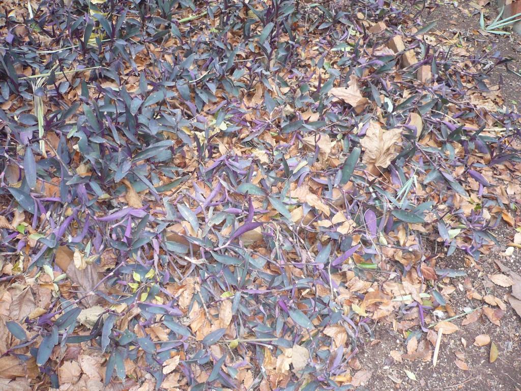 Trzykrotki purpurowe zimujące wgruncie. Zdjęcie zrobiono wlutym wHiszpanii. Fot.Niepodlewam