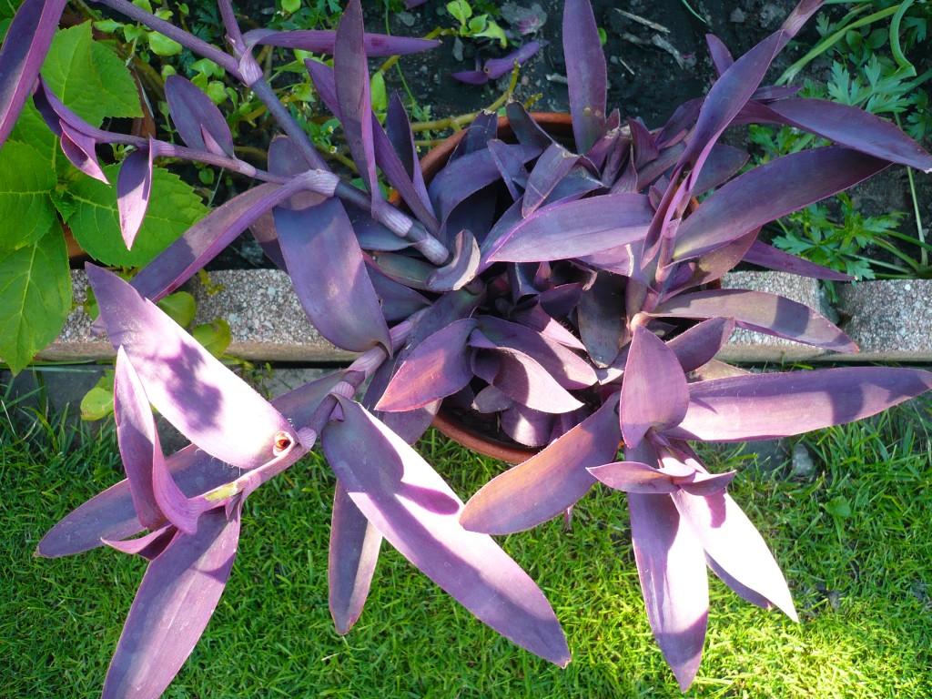Trzykrotka purpurowa ma fioletowe liście. Zwykle sadzi się ją wmieszkach, alenadaje się też nabalkon idoogrodu. Fot.Niepodlewam