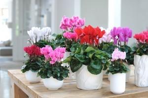 Cyklamen perski kwitnie zimą. Kwiaty są w różnych kolorach. Fot. Flower Council of Holland/thejoyofplants.co.uk
