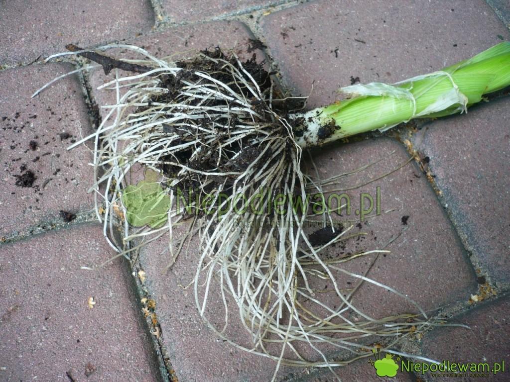 Starsze pory mają bardzo mocne korzenie. Fot. Niepodlewam