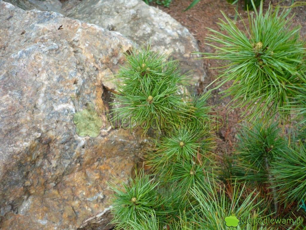 Igły sosny wejmutki Diggy mogą żółknąć z powodu zanieczyszczeń w powietrzu, jak spaliny i smog. Fot. Niepodlewam