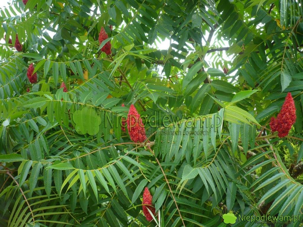 Sumak octowiec to niskie drzewo. Jego ozdobą są kwiaty, a potem owocostany przypominające kolby. Fot. Niepodlewam