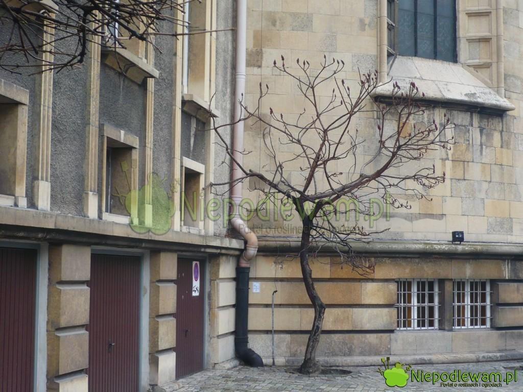 Sumak octowiec doskonale znosi zanieczyszczenia miejskie, w tym sól do posypywania chodników. Egzemplarz na zdjęciu zrobiono w centrum Katowic w lutym. Fot. Niepodlewam