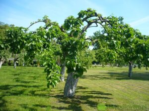 Terminy cięcia drzew owocowych są różne. Fot. Niepodlewam