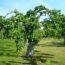 Terminy cięcia drzew owocowych – kalendarz