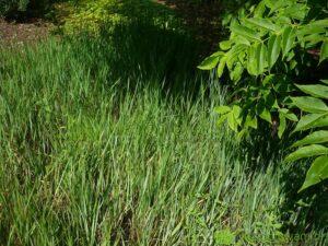 Trawa żubrówka nie jest zbyt dekoracyjna. Uprawia się ją głównie jako dodatek do alkoholi i dań. Słodko pachnie po ususzeniu. Fot. Niepodlewam