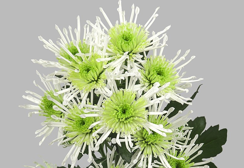Chryzantema Anura Green. Fot. JustChrys.com