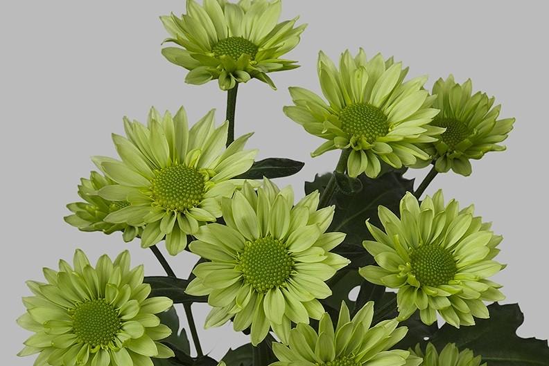 Chryzantema Greenlizard. Fot. JustChrys.com