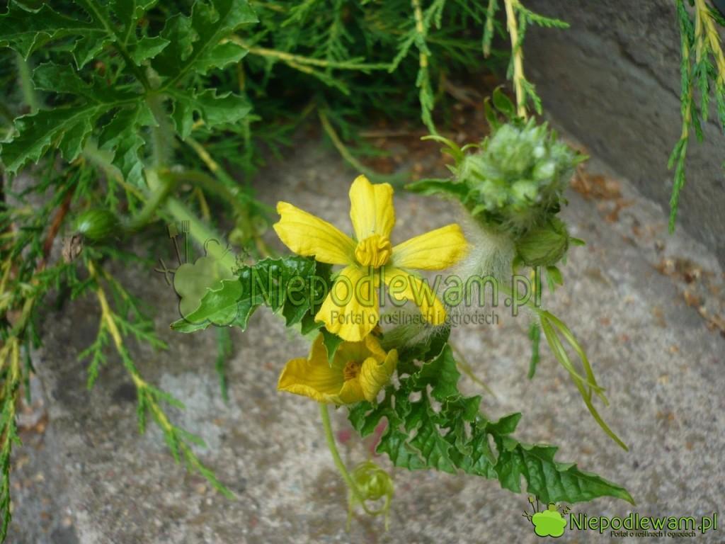 Kwiaty arbuza Janosik są żółte. Fot.Niepodlewam