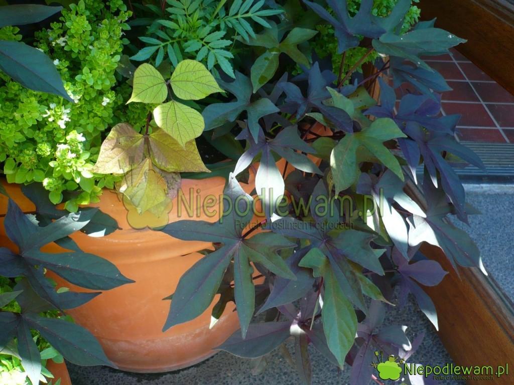 Batat ma słodkie bulwy. Jest też ozdobny liści. Bardzo dobrze rośnie w donicach. Fot. Niepodlewam