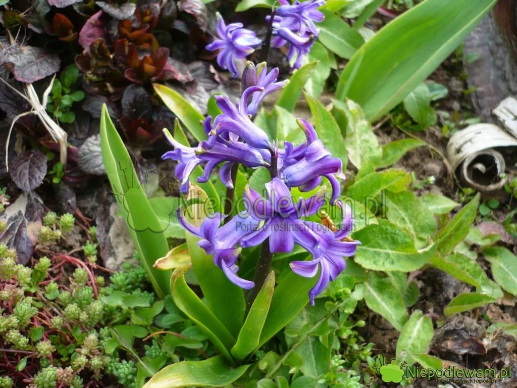 Hiacynt doniczkowy, posadzony w ogrodzie, zakwita zwykle wiosną. Kwiaty zwykle są mniej dorodne. Fot. Niepodlewam