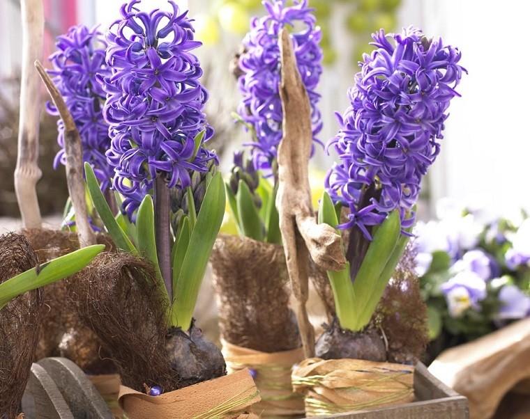 Hiacynt doniczkowy najwygodniej kupić wsklepie. Można też pędzić hiacynty zwłasnych cebul. Fot.Flower Council of Holland/thejoyofplants.co.uk