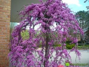 Judaszowiec kanadyjski Covey to odmiana płacząca. Kwiatów ma mnóstwo. Fot. Niepodlewam
